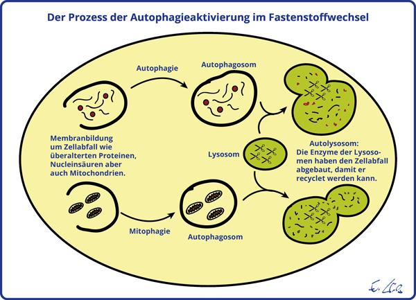 Abb.1: Der Prozess der Autophagie im Fastenstoffwechsel